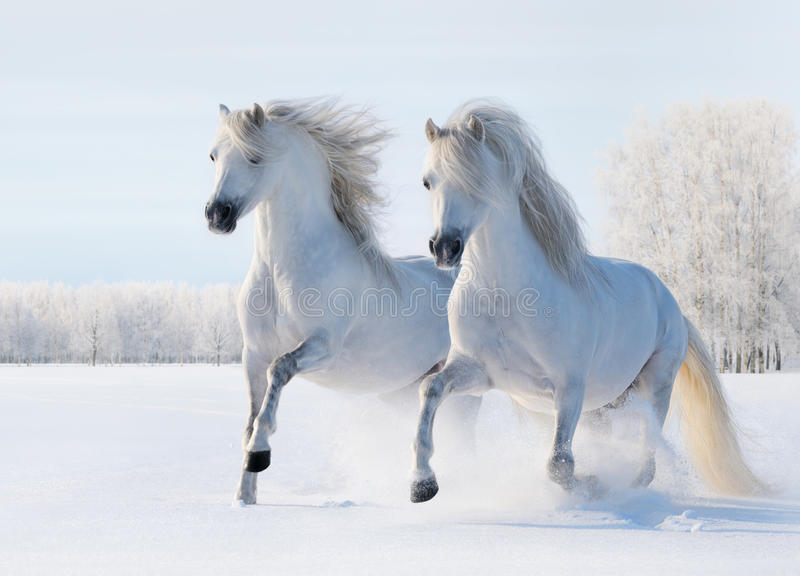 Two white horses gallop on snow field stock photo