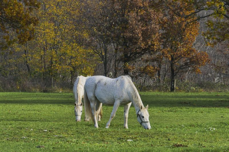 Two white horses grazing grass autumn nature background stock photos