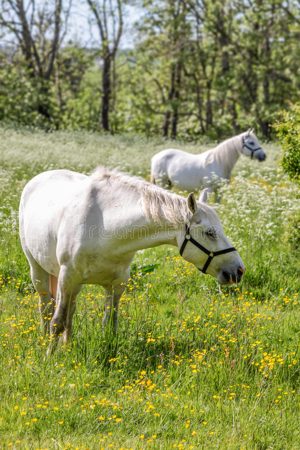 Free Two White Horses On Green Pasture Royalty Free Stock Images - 32663039