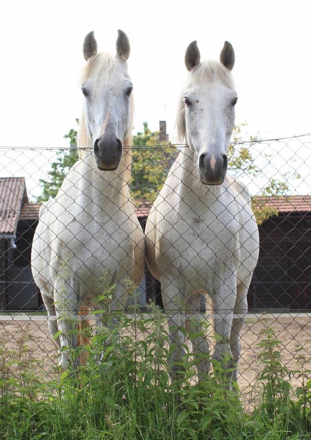 Two white horses royalty free stock photos