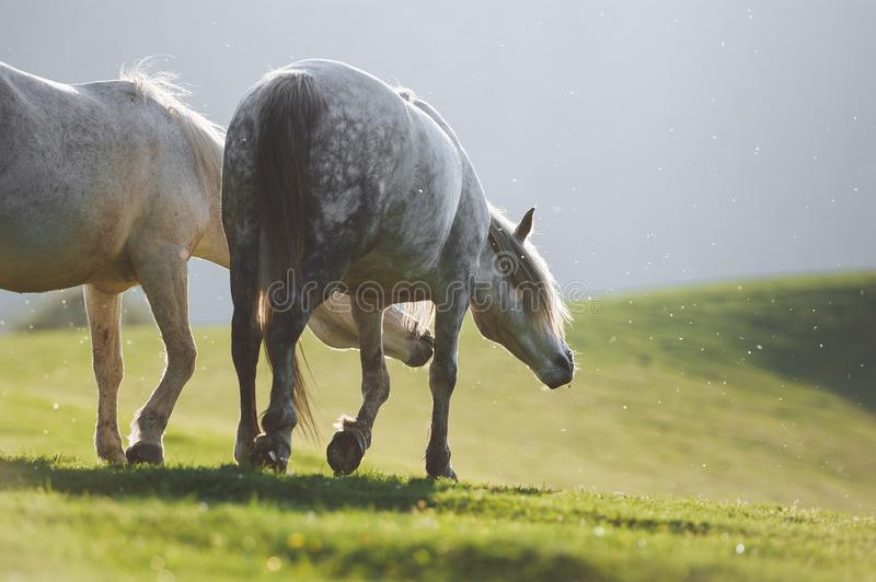 Two white horses are walking on the background of mountains. In the green meadows. A pair of horses graze in the herd. Amazing gray horse stock image
