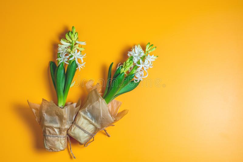 Two white hyacinths on yellow surface background. Minimalism, top view, copy space for you text. Happy Easter, Mothers day, birthday, wedding marriage festive stock image