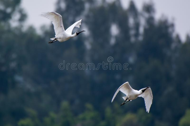 Two White Ibis Flying stock photography