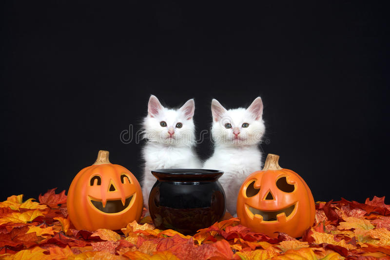 Two white kittens by black cauldron and jack o lanterns. Two fluffy white kittens sitting behind a black cauldron with jack o lanterns on both sides surrounded stock image