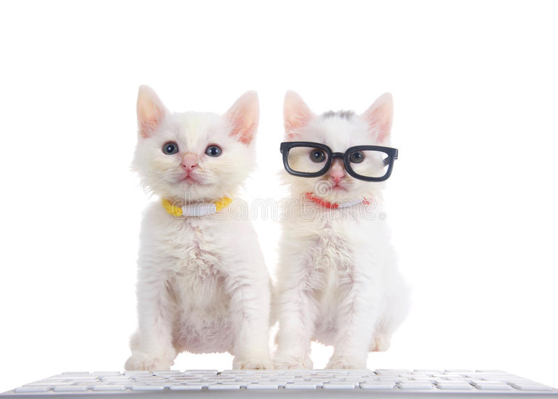 Two white kittens, one wearing glasses at a computer keyboard. Two fluffy white kittens wearing bright collars sitting on a white surface with computer keyboard stock photography