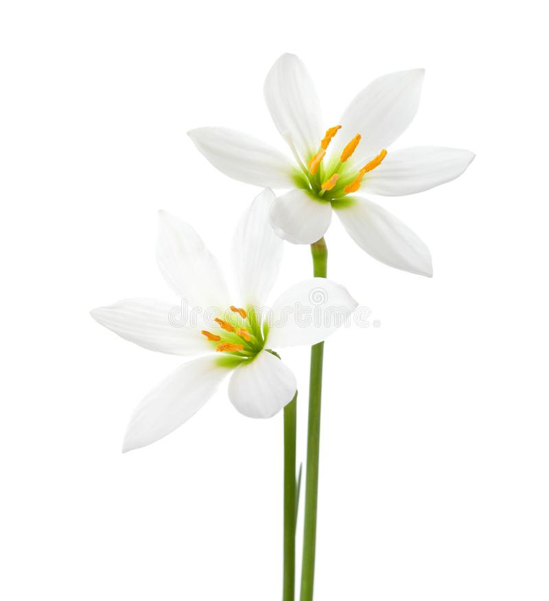 Two white lilies isolated on a white background. Zephyranthes candida.  royalty free stock image
