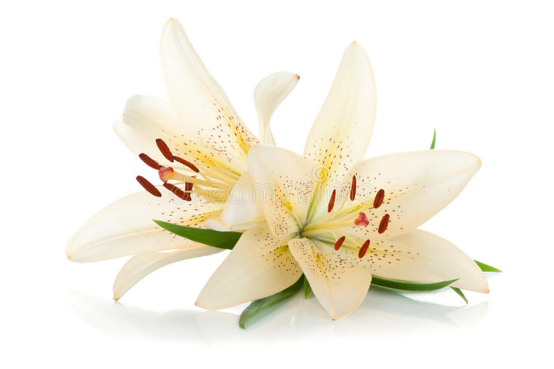 Download Two white lily stock image. Image of closeup, fragility - 25436927