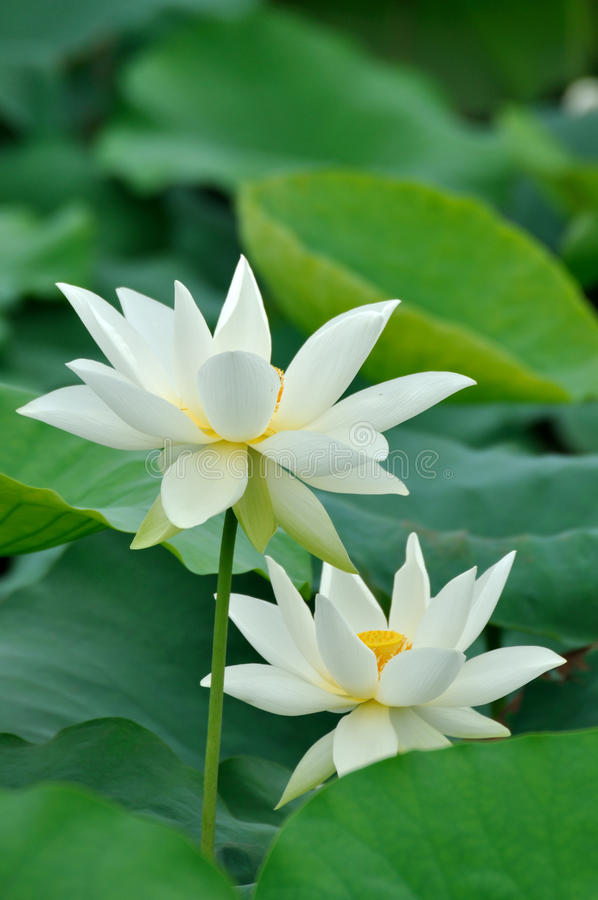 Download Two white lotus flower stock image. Image of couple, pair - 14537567