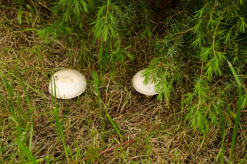 Two white mushrooms stock photography