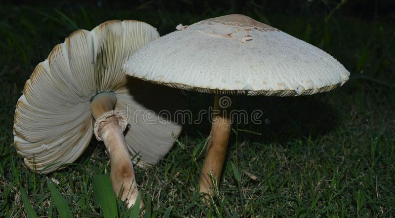 Two white mushrooms in green grass royalty free stock photo