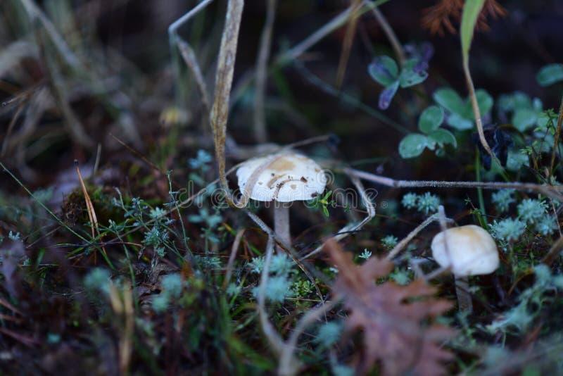 Two White Mushrooms stock photos