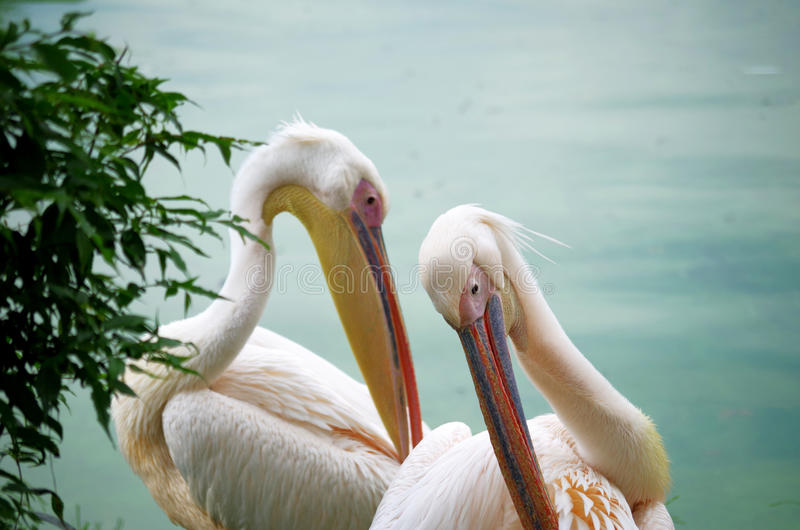 Two White Pelicans. Scratching their bodies with their beaks at the side of a lake stock images