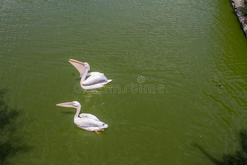 Two white pelicans swimming stock photography