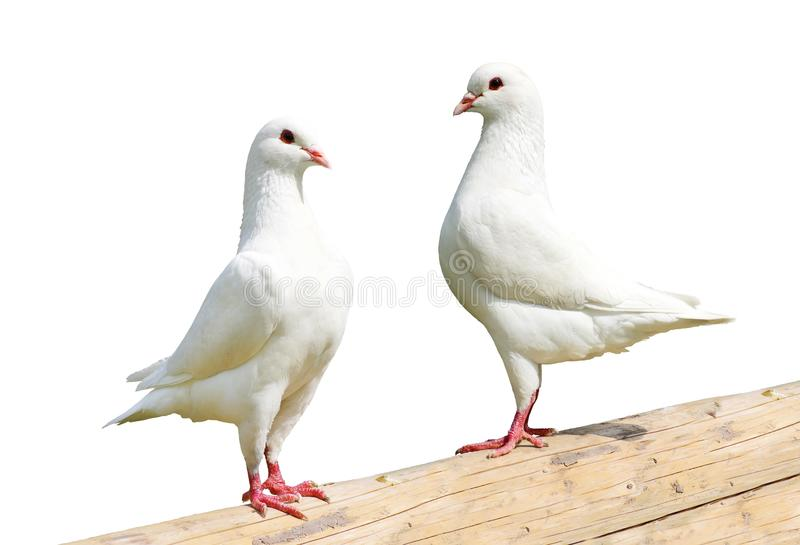 White Pigeon Couple Stock Images - Download 1,157 Royalty Free Photos
