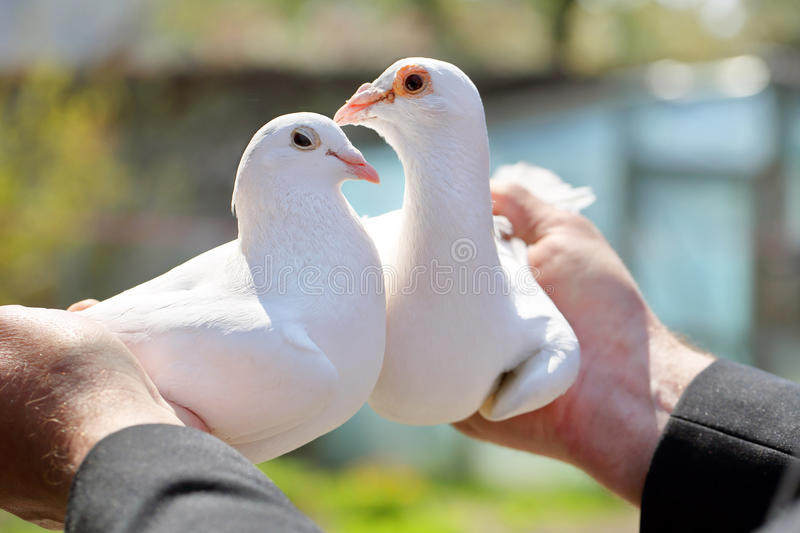 Two white pigeons in the hands of breeders.  stock images