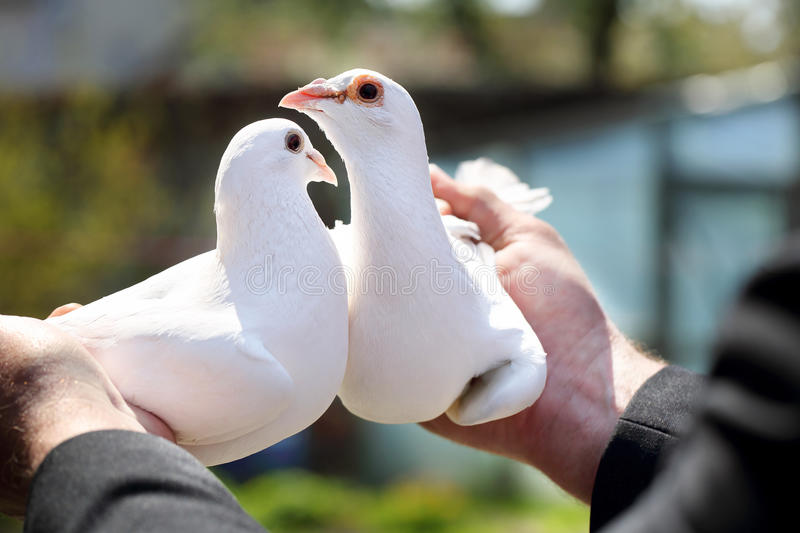 Two white pigeons in the hands of breeders stock photo