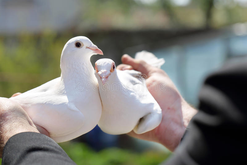 Two white pigeons in the hands of breeders.  royalty free stock image