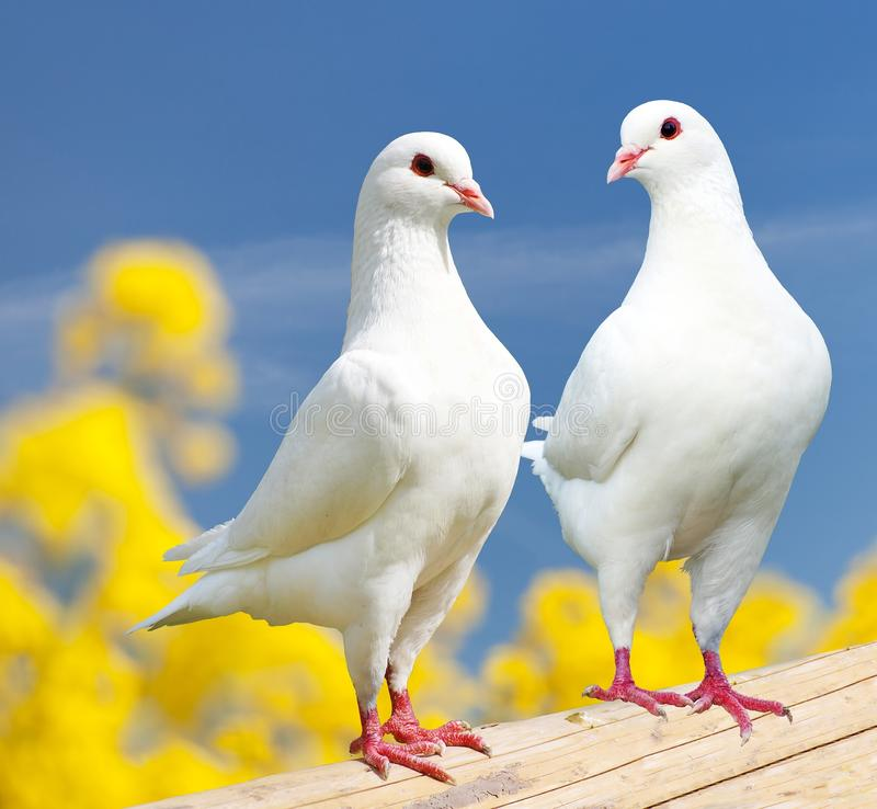 Two white pigeons on perch with yellow flowering background royalty free stock photos