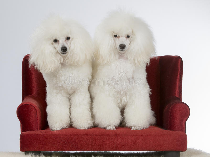Two white poodles on a sofa. royalty free stock photos