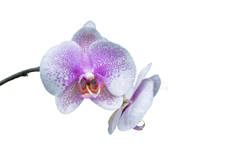 Two white and purple orchids with stem isolated on a white background royalty free stock images