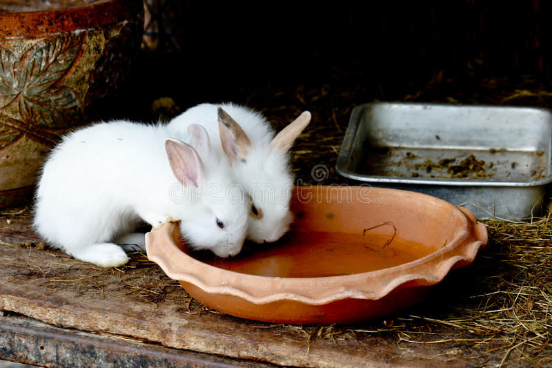 Two White Rabbits Drinking Water From Baked Clay Disc stock image