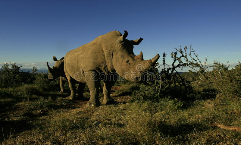 Two white rhino approching. A low angle photo of these two white rhinoceros approaching in a safari Park in South Africa, Eastern Cape stock image