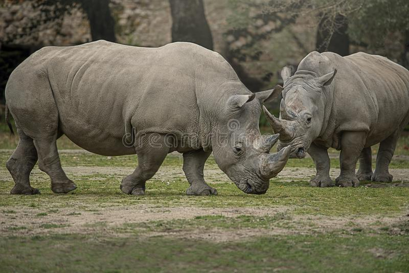 Two white rhinoceros with big horns royalty free stock photography