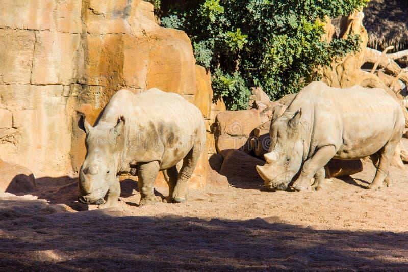 Two white rhinoceros, Ceratotherium simum, walking on a natural environment stock photos