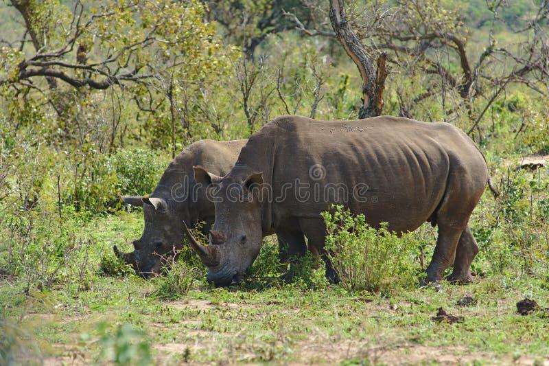 Two white rhinoceros Ceratotherium simum in Hluhluwe–iMfolozi Park, South Africa stock photography