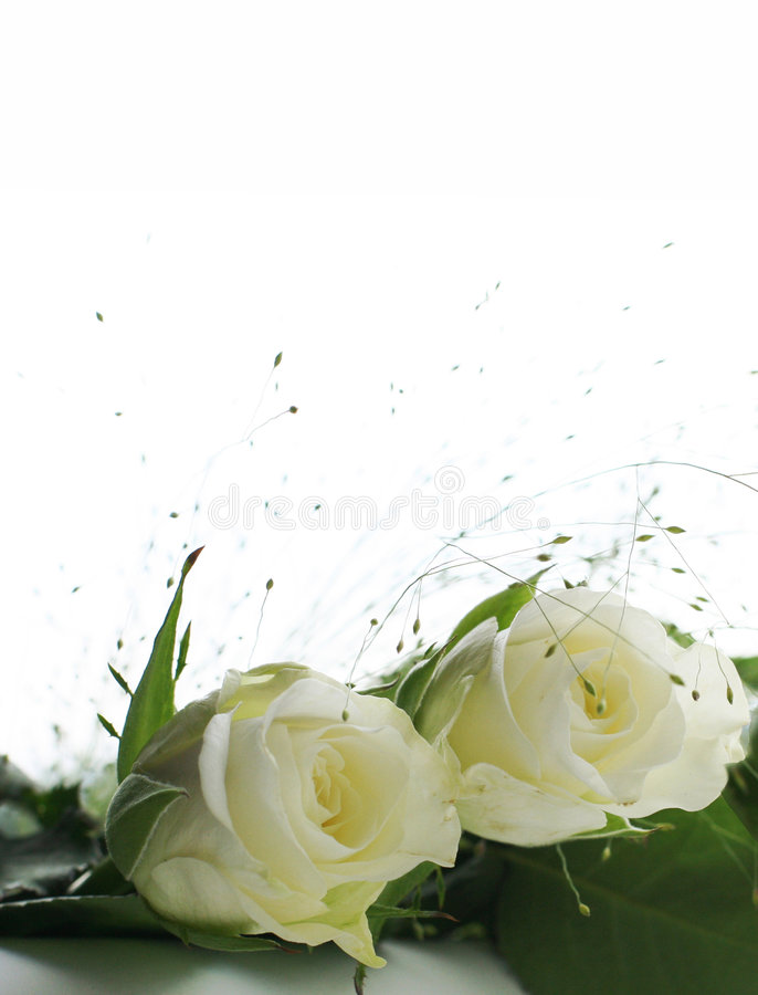 Two white roses stock photo