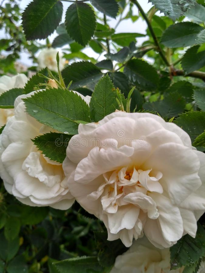 White rose. These two white roses act as a symbol of tenderness, sensitivity and youth stock images