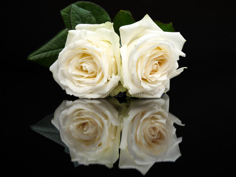 Two White Roses With Mirror Image On Black Stock Photo