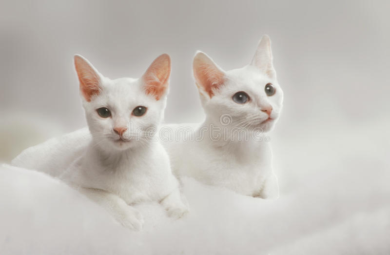Two white russian cats stock images