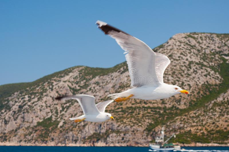 Two white Seagull flying over blue sea in Croatia royalty free stock image