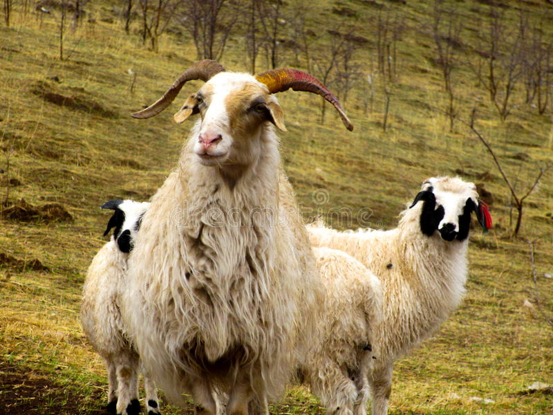 Two white sheep standing in the autumn valley royalty free stock photo