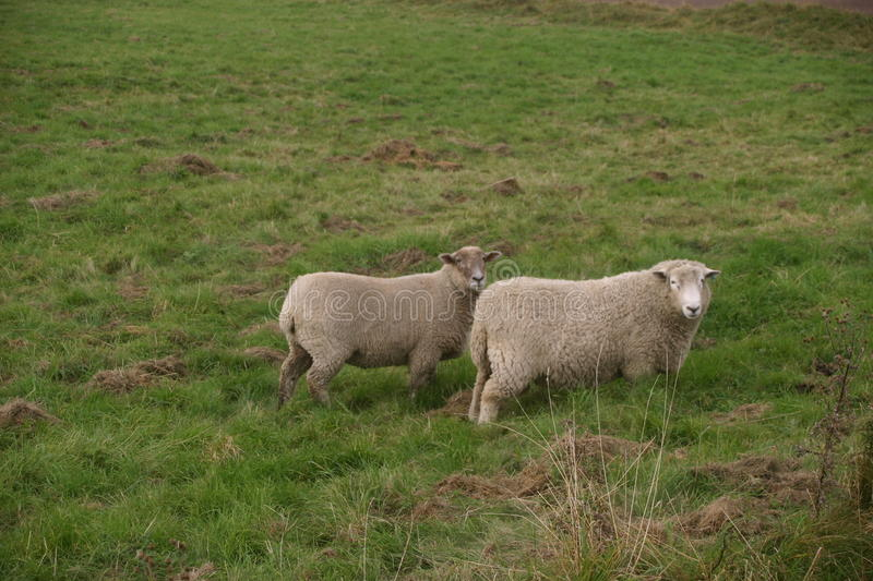 Two white sheep. Two sheep with a white woolly coat. In a grassy field as background royalty free stock image