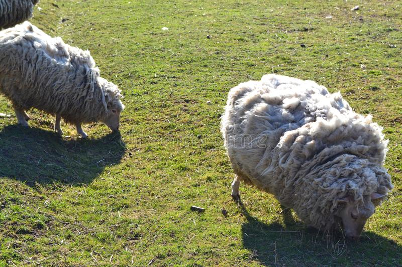 Two white sheeps on grass on russian farm in spring royalty free stock image