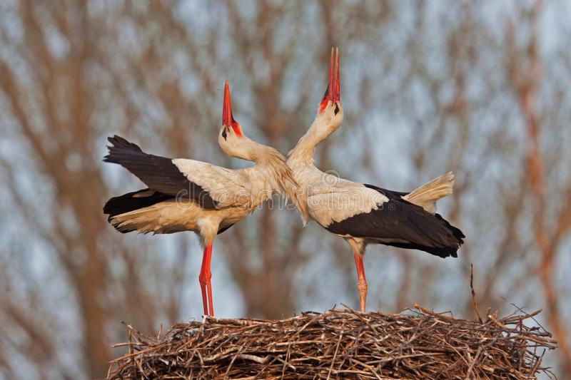 Two White storks royalty free stock photography