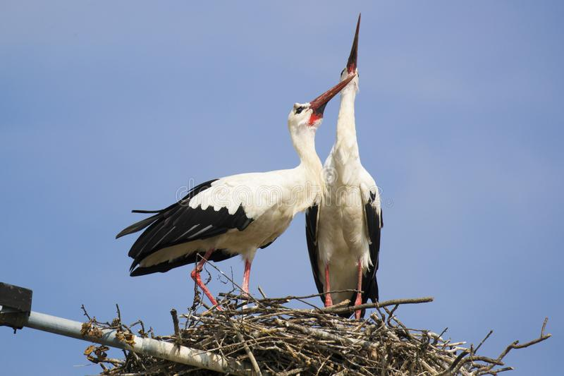 Two white storks vocalizing themselves stock photo
