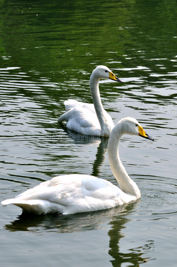 Download Two White Swan Is Swimming In Water Stock Image - Image: 11631347