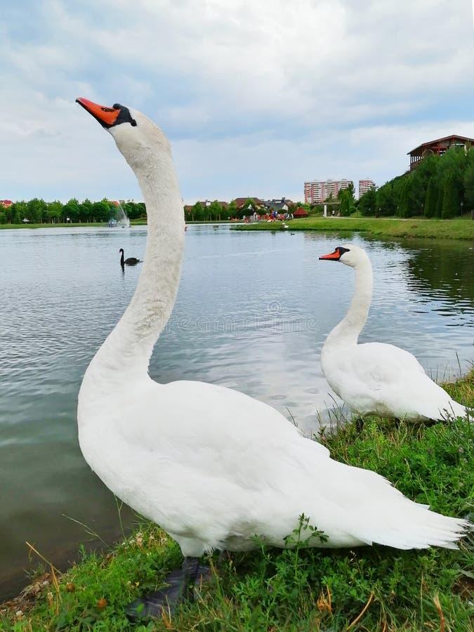 Two white swans on the lake stock photo