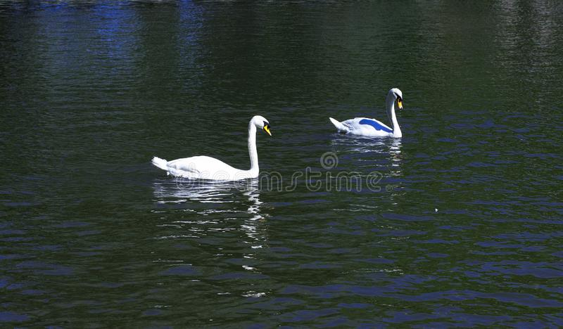 Two white swans on the lake royalty free stock photography