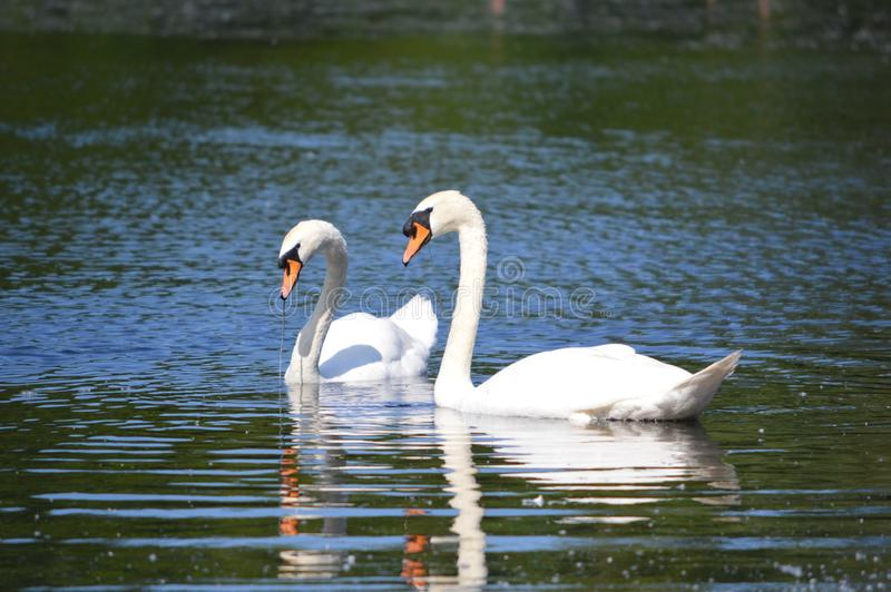 Two white swans on a lake in the UK royalty free stock photography
