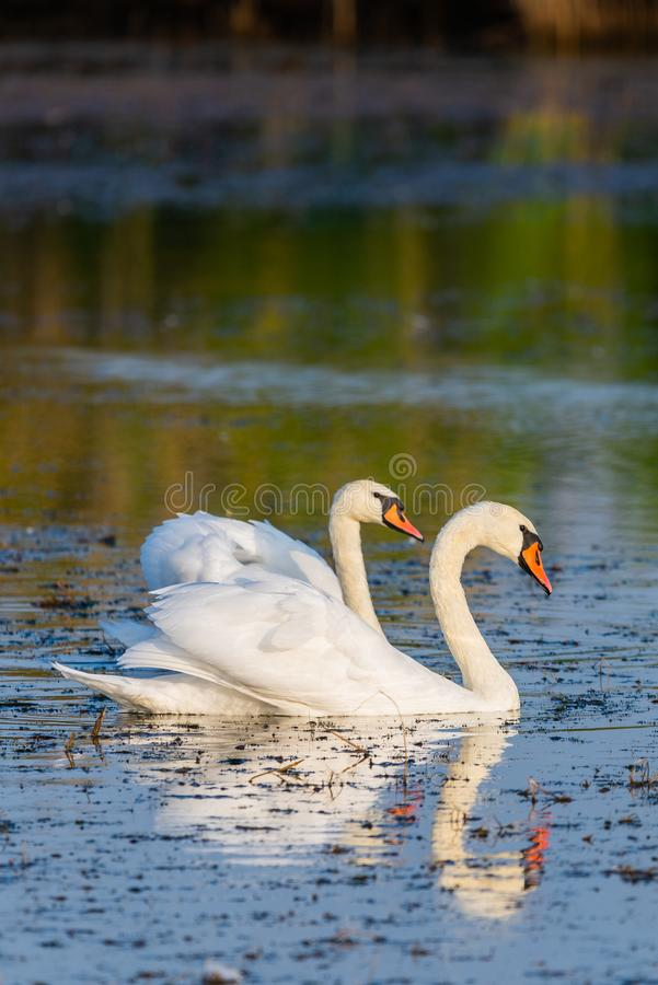 Two white swans on a lake royalty free stock photography