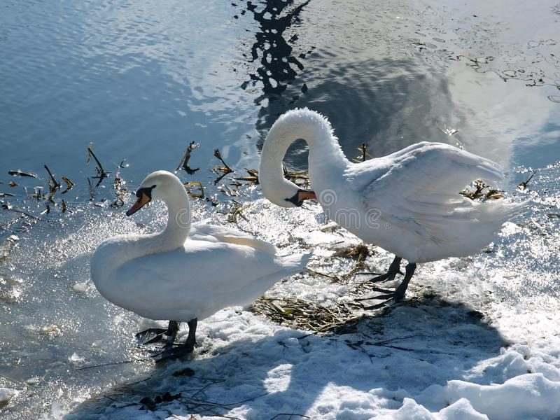 Two white swans on the lake in winter royalty free stock image