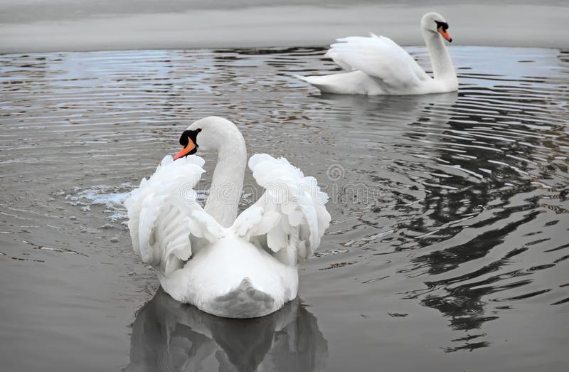 Two white swans on the lake in winter. stock photos