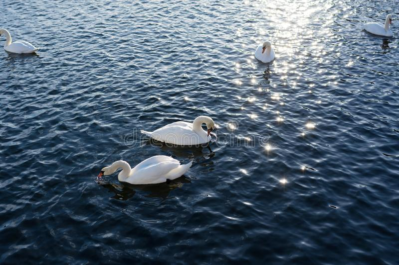 Two White Swans River Sunset Swan royalty free stock photos