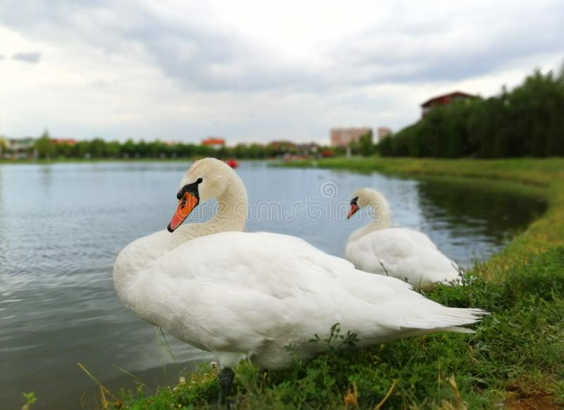 Two white swans on the shore of the pond royalty free stock photos