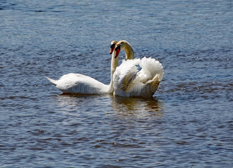Two white swans stay close to each other on the river Axe estuary in Devon royalty free stock photos