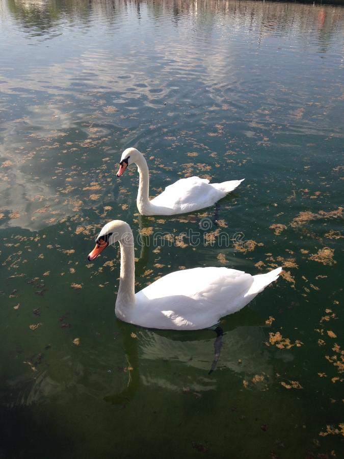 Two white swans swim on a pond on a sunny day. Vertical photo stock photos